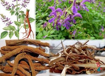 Đan Sâm loại thảo dược tốt cho bệnh lý về tĩnh mạch bạn nên biết